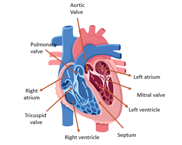 Anatomy and Workings of the Heart